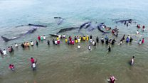 Sperm whales stranded in Indonesia die