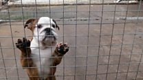 Illegal puppy trade surges for Christmas