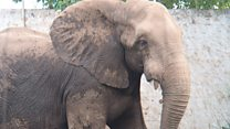 Tantor the elephant gets root canal surgery