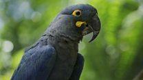 Saving the world's rarest parrots