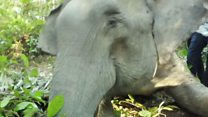 Bagaimana dokter menyelamatkan Dita, gajah Sumatra yang dehidrasi di dalam hutan