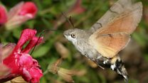Unusual hummingbird moth 'defies myths'