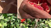 દાડમ-સાહસનું ફળે આ ગુજરાતી ખેડૂતને અપાવ્યો 'પદ્મશ્રી'