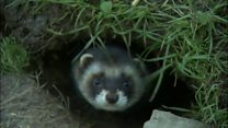 Long-lost polecats returning to Essex