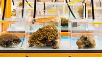 'Breakthrough' in coral breeding project