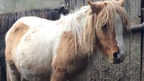 Abandoned Dartmoor hill ponies saved