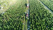 Christmas tree harvest in Lincolnshire