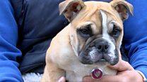 Bulldog puppy waiting for heart operation