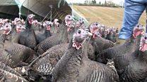 Meet the man who talks to his turkeys