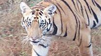 अन् उमरेड-कऱ्हांडलाच्या जंगलात भरली वाघोबांची शाळा