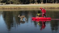 Bambi on ice: Deer rescued from lake