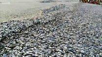 मालवण किनाऱ्यावर टनावारी मृत माशांचा खच