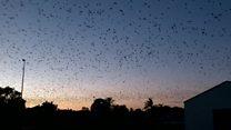 غافلگیری ساکنان یک شهر استرالیا در پی هجوم خفاشها