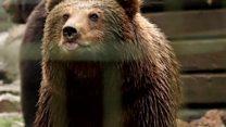 Qəfəs həyatı ayıları xəstə edir