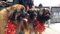 Dogs show festive fashion at Santa event