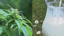भांगेपासून बनवलेलं दूध प्याल का?