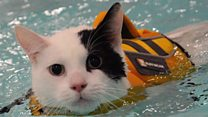 Cat has swimming therapy after surgery