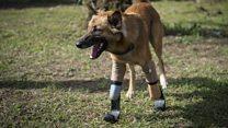 Injured dog gets 'blade runner' legs