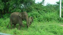 Слоненя зі Шрі-Ланки потрапило в пастку
