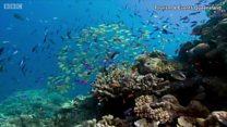 ผสมเทียมปะการังต่อชีวิตเกรทแบร์ริเออร์รีฟ