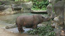 Badak Sumatra terancam punah 'sejak zaman es'