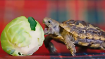 Christmas sprout dwarfs hungry tortoise