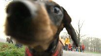 Сотни нарядных такс вышли на прогулку в Лидсе