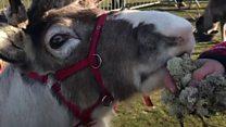 Meet the reindeer touring the UK