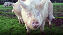 Why this pig could make you go vegan