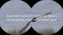 'Llygedyn o obaith' i helpu adar oroesi