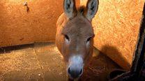 Miniature donkeys spread Christmas cheer