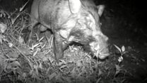 Camera captures rare pig thought extinct