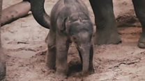 Baby elephant born on Christmas Day