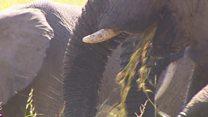Au Tchad, un rempart contre le braconnage de l'éléphant