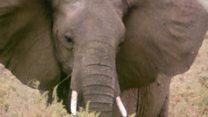 हाथियों को बचाने के लिए हथियारों का सहारा