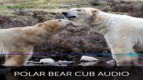 The sound of a newly born polar bear cub