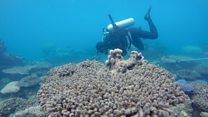 Corals facing more frequent bleaching