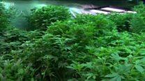 Каліфорнія легалізувала продаж марихуани: як це працює