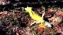 Во Флориде с деревьев посыпались игуаны
