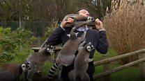 BBC記者、飛び交うキツネザルにいいようにされ……