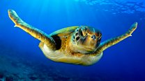 Warmer seas 'turning turtles female'