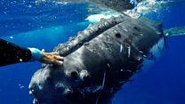 El impresionante momento en que una ballena jorobada protege a una buceadora de un tiburón