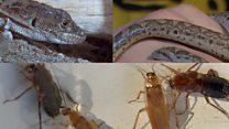 Кого завести дома - гигантских улиток, тараканов или скорпионов?