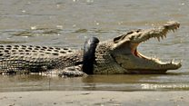 Race to save crocodile stuck in tyre