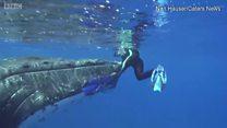 วาฬหลังค่อมช่วยชีวิตคนจากฉลามเสือ
