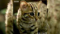 أصغر القطط الشرسة في العالم
