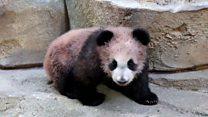 Во Франции показали детеныша панды
