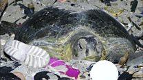 Las descorazonadoras imágenes de una tortuga verde que intenta anidar en una playa llena de basura