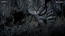 Fofo? Conheça o 'gatinho' mais mortífero do mundo