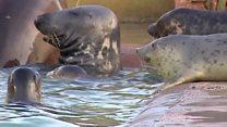Aprende inglés: ¿Por qué llegan más crías de focas huérfanas y enfermas a las costas de Reino Unido?